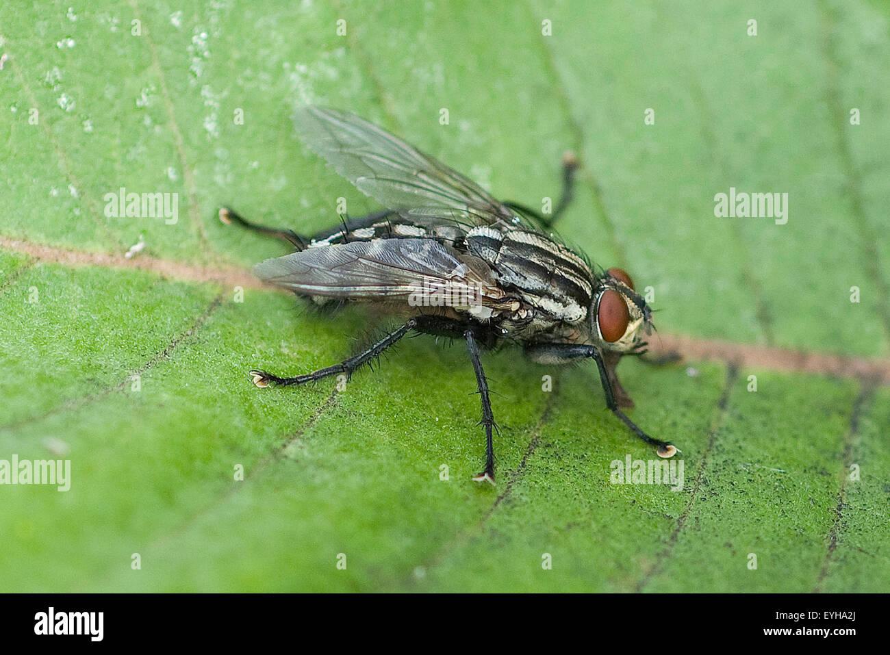 Schmeissfliege, Fliege, Calliphora, vicina, Stock Photo