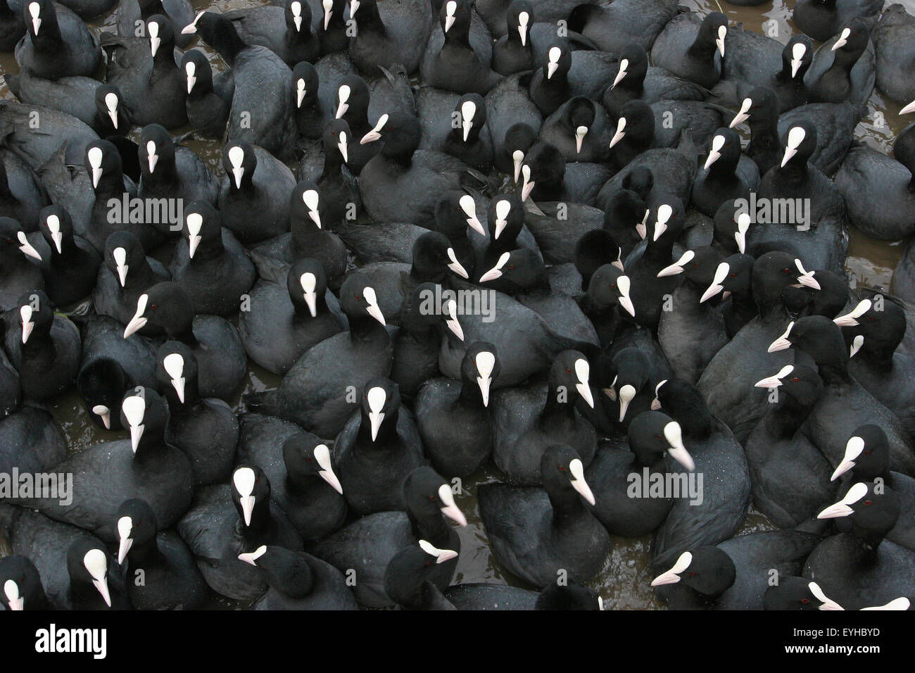 Eurasian Coots (Fulica atra) at a feeding site, Thuringia, Germany Stock Photo