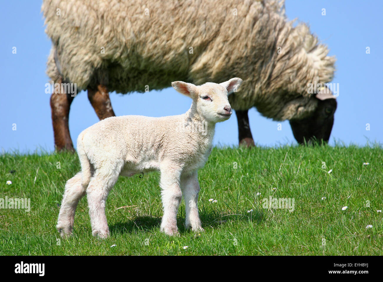 Sheep (Ovis ammon f.aries), lamb and ewe, Schleswig-Holstein, Germany - Stock Image