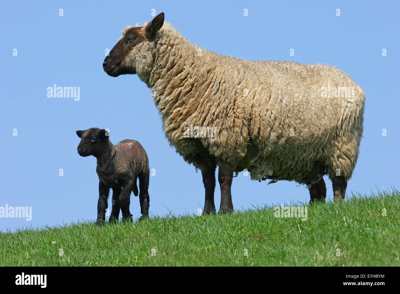 Sheep (Ovis ammon f.aries), black lamb and ewe, Schleswig-Holstein, Germany - Stock Image
