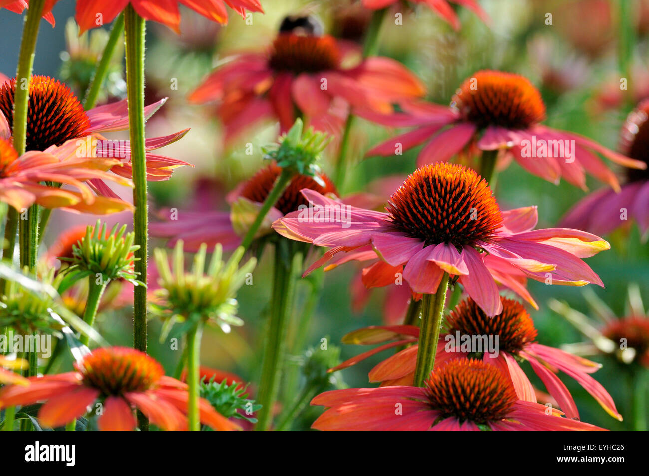 Coneflowers, hybrid, variety Hot Summer (Echinacea sp.), North Rhine-Westphalia, Germany - Stock Image