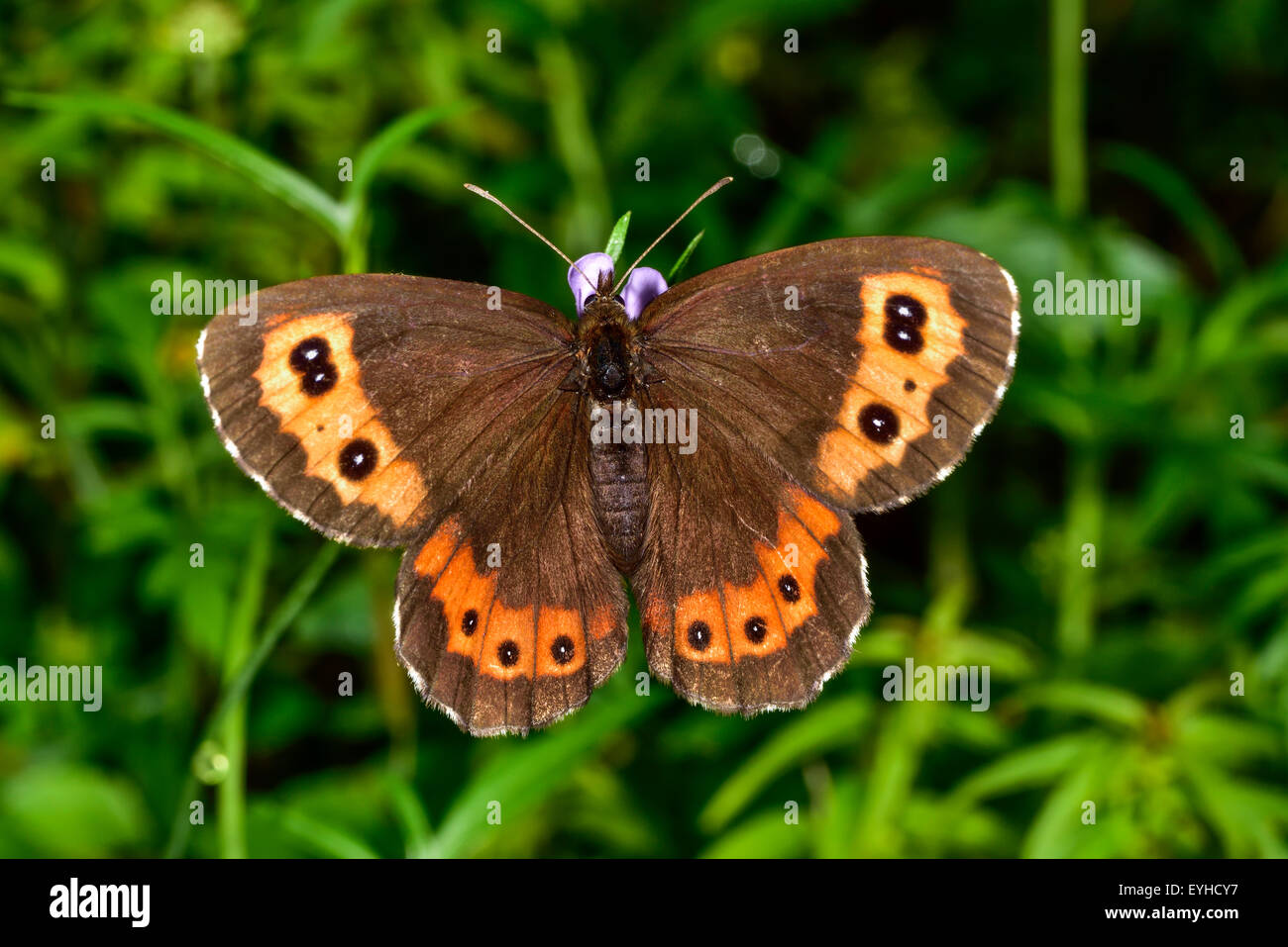 Closeup photo of the Bright-eyed Ringlet butterfly. - Stock Image
