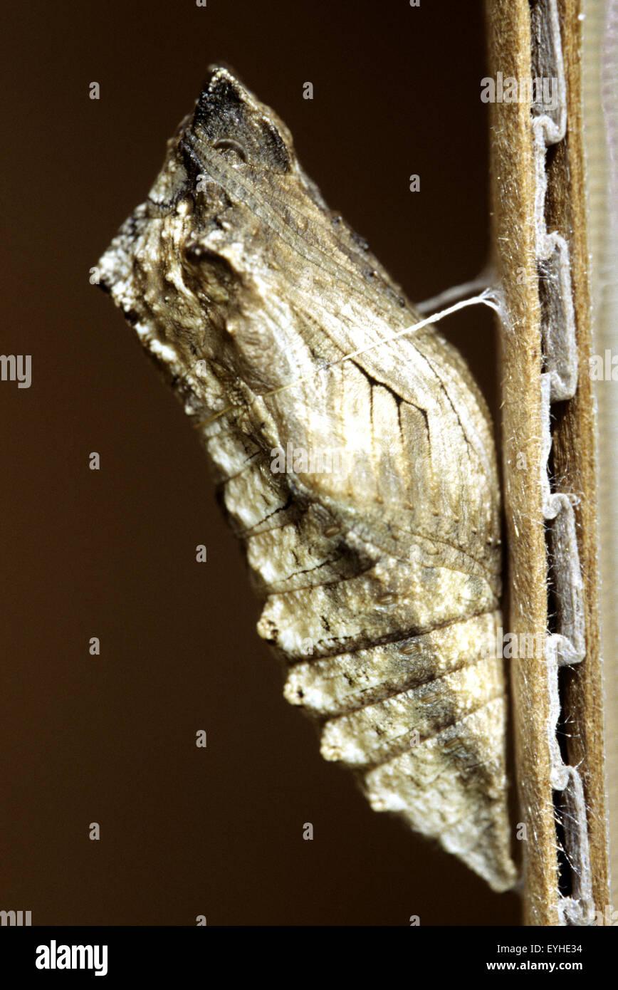 Fotografia Alamy Fotografia metamorfosi;Swallowtail metamorfosi;Swallowtail Alamy Stock85821432 bambola;la bambola;la bambola;la Stock85821432 8OPX0nwk