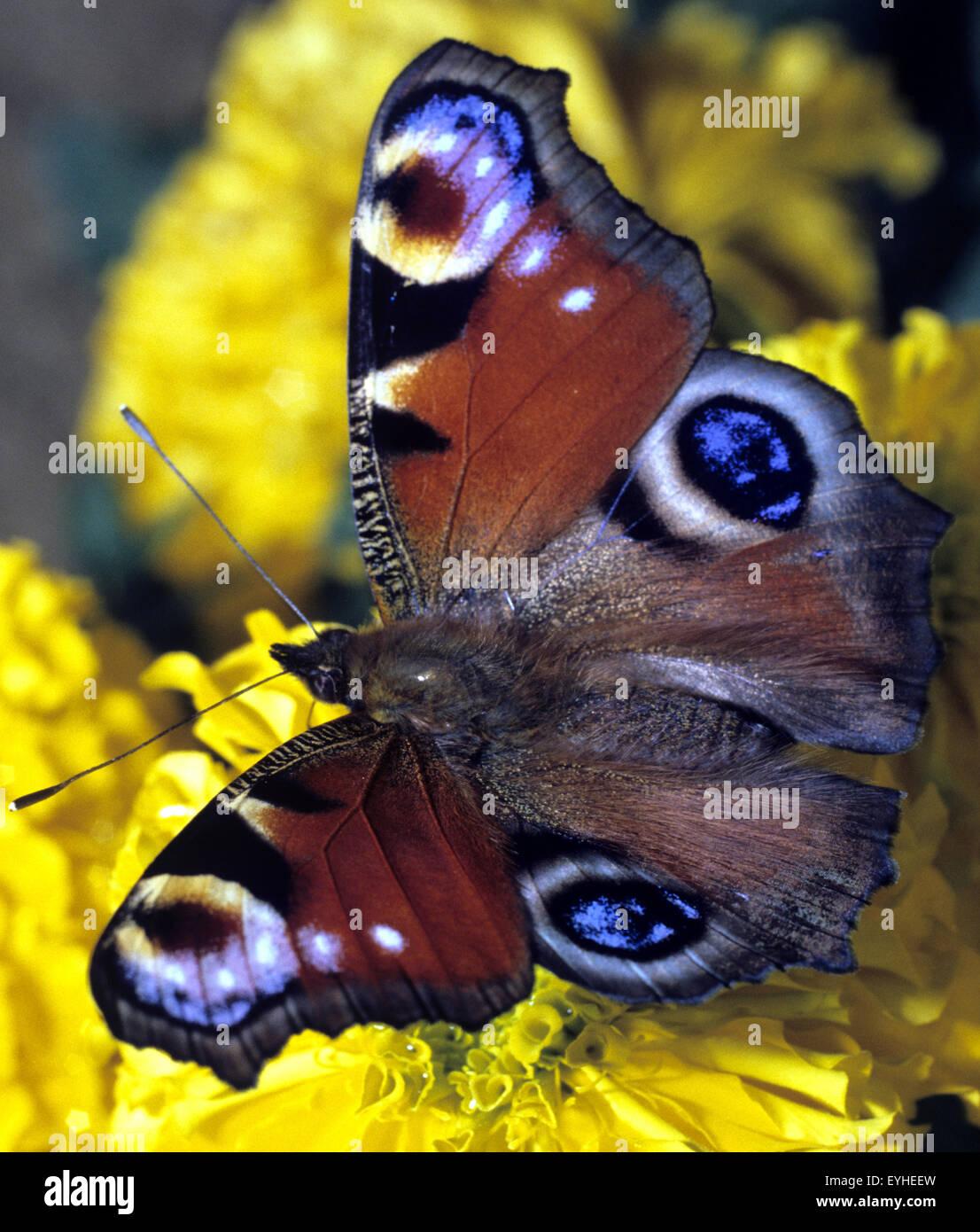 Tagpfauenauge, Inachis, io, - Stock Image