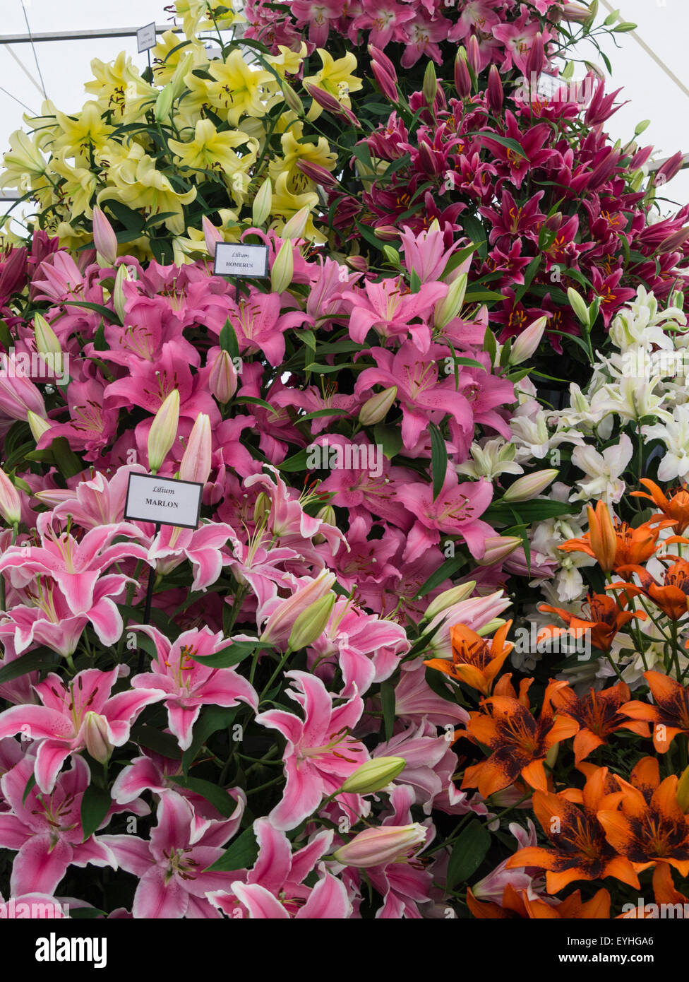 Different lilies stock photos different lilies stock images alamy display of different coloured lilies rhs cheshire flower show tatton park england stock image izmirmasajfo