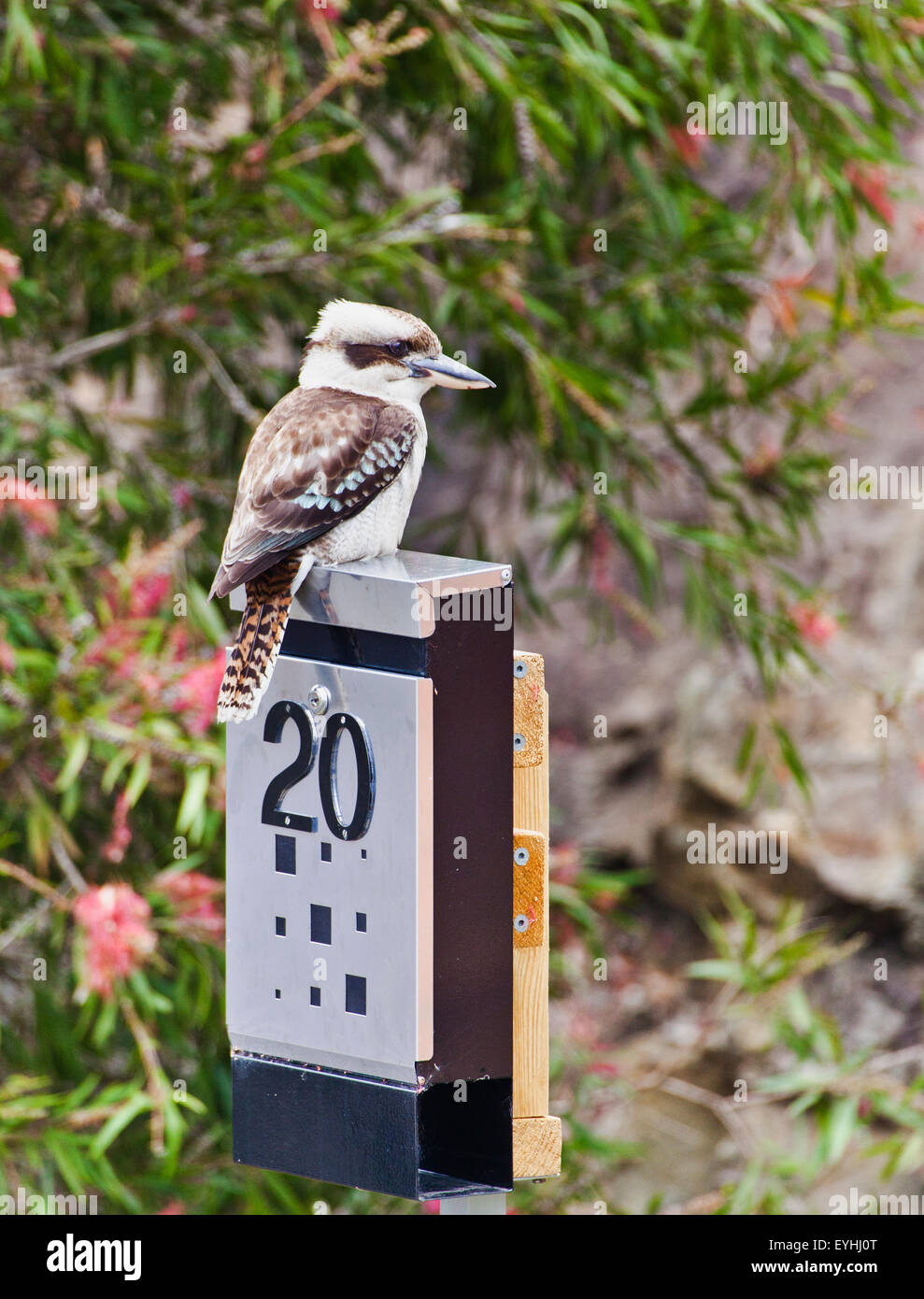 Australia, Kookaburra on a letter box perch - Stock Image