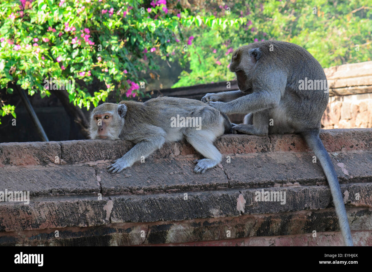 A crab eating or long tailed macaque monkey, Macaca fascicularis, cleans the fur of another, Pemuteran Monkey Temple, - Stock Image