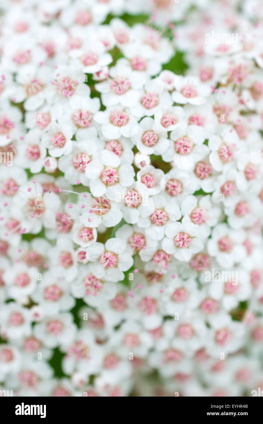 Cluster Small White Flowers Stock Photos Cluster Small White