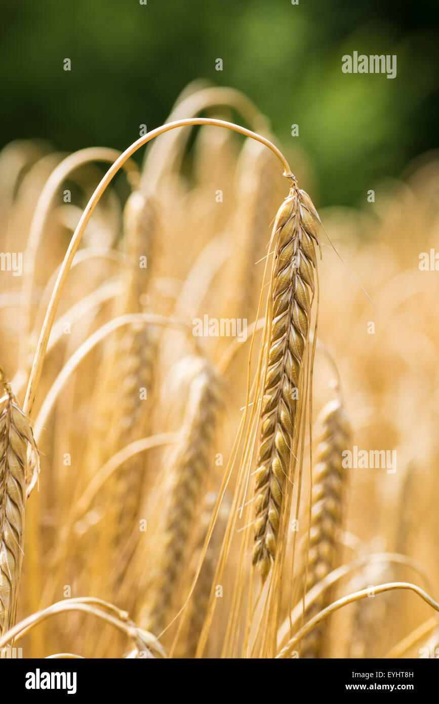 Ears of corn blowing in the wind  during summer cannock staffordshire uk - Stock Image