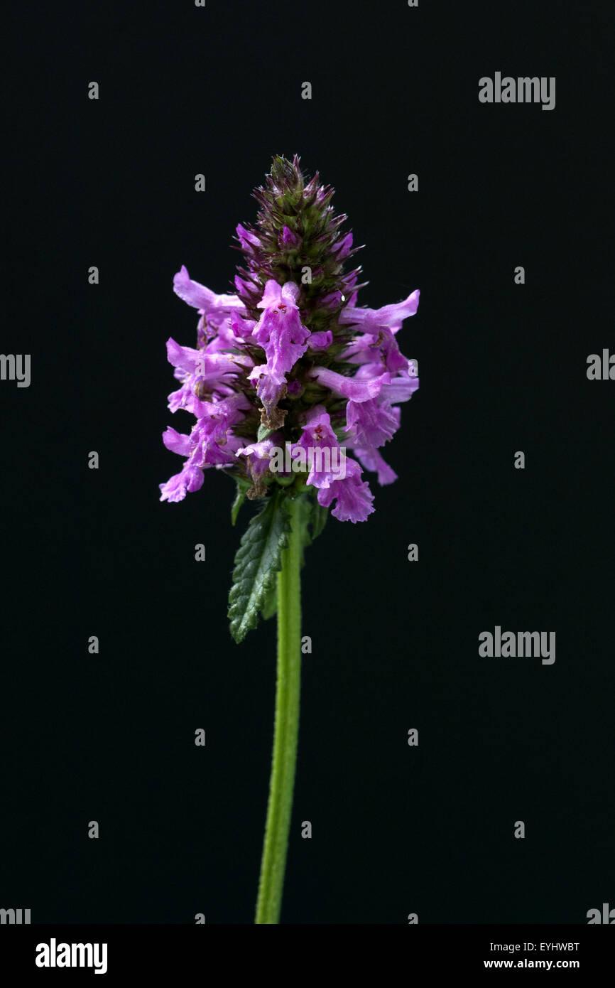 Ziest, Stachys officinalis, Echter, Stock Photo
