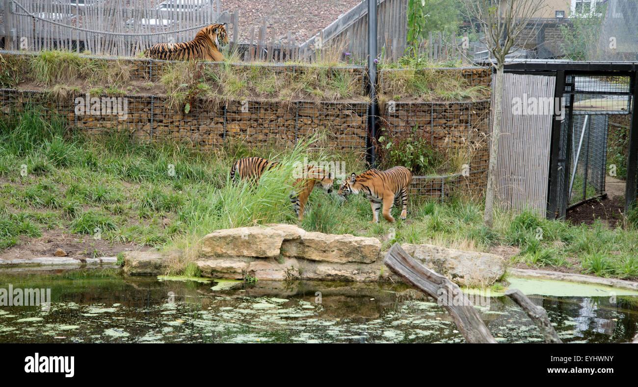Sumatran tigers in their Tiger Territory enclosure at London zoo - Stock Image