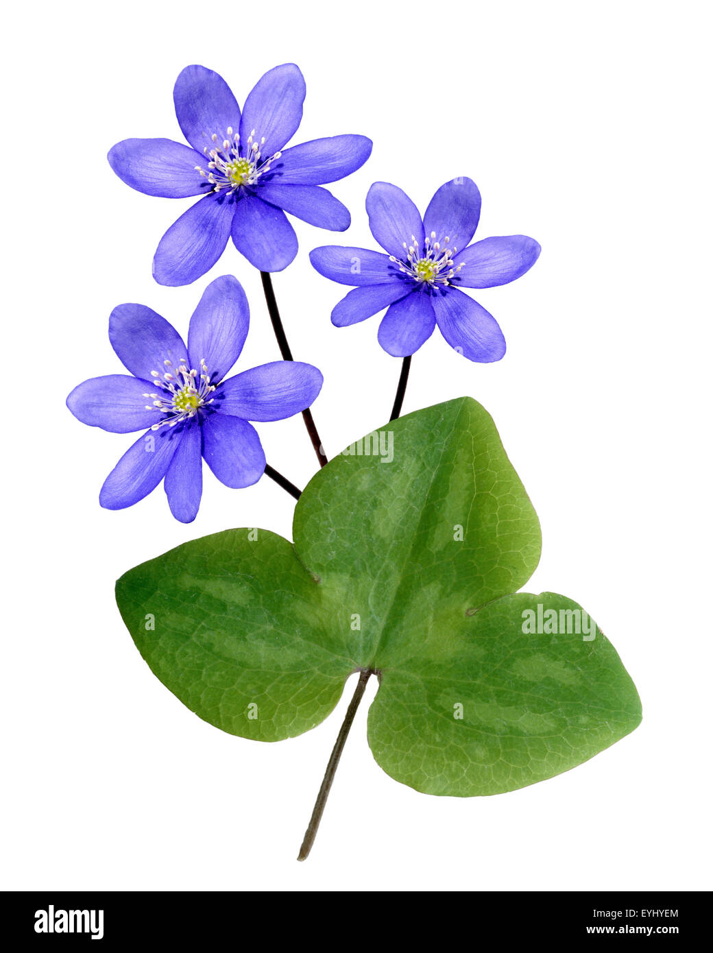 Leberbluemchen, Hepatica, nobilis, Winterblueher, Anemone hepatica, blaue blueten, blau, Blume des Jahres 2013, Stock Photo