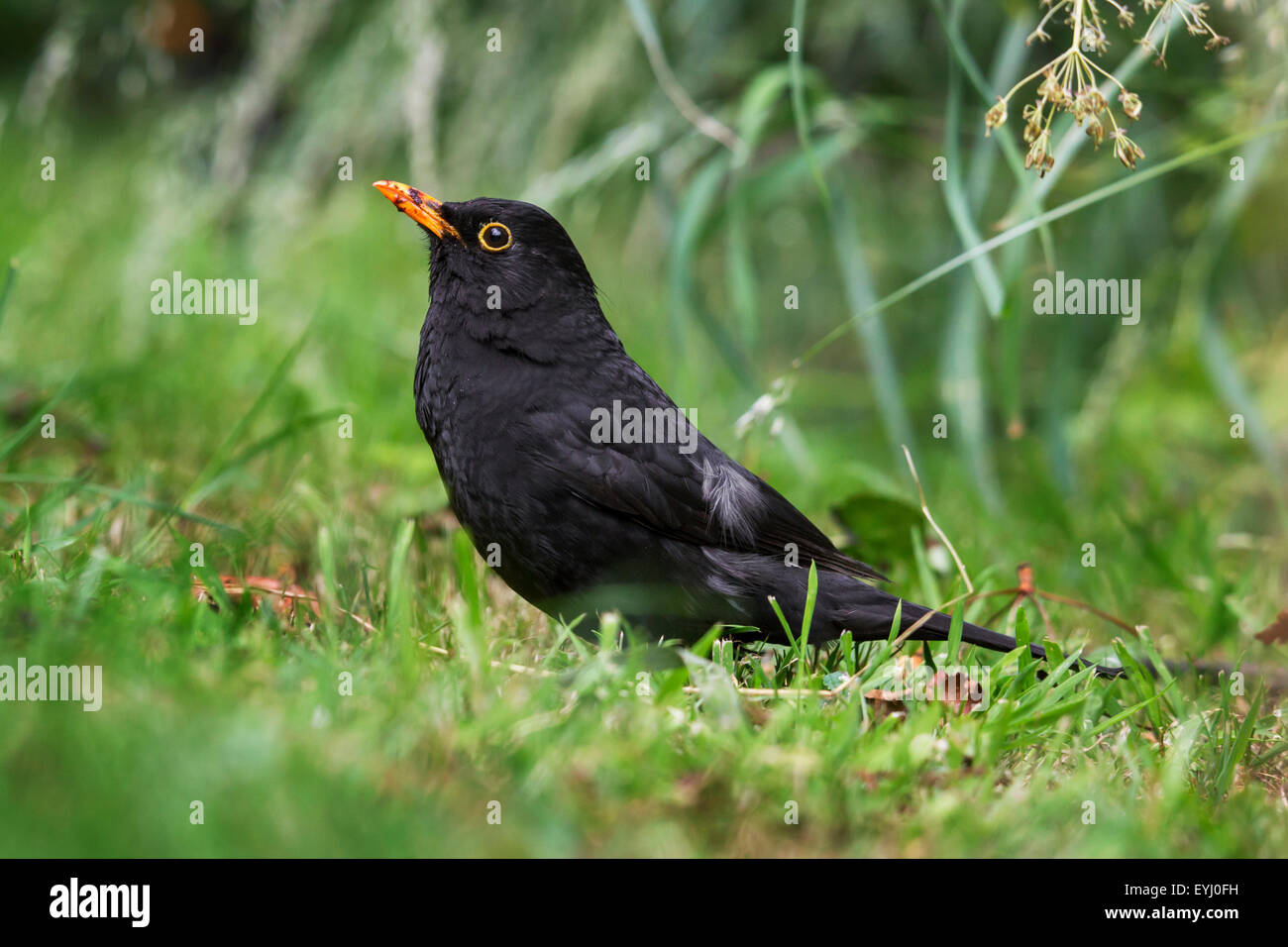 Common blackbird (Turdus merula) male on the ground showing slight form of leucism with white feathers in wing - Stock Image