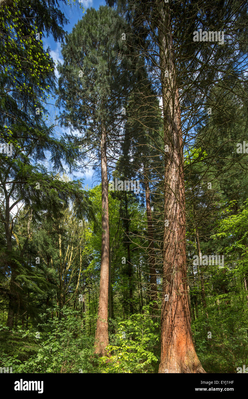 Giant sequoia / giant redwood / Sierra redwood / Sierran redwood / Wellingtonia (Sequoiadendron giganteum) in European - Stock Image
