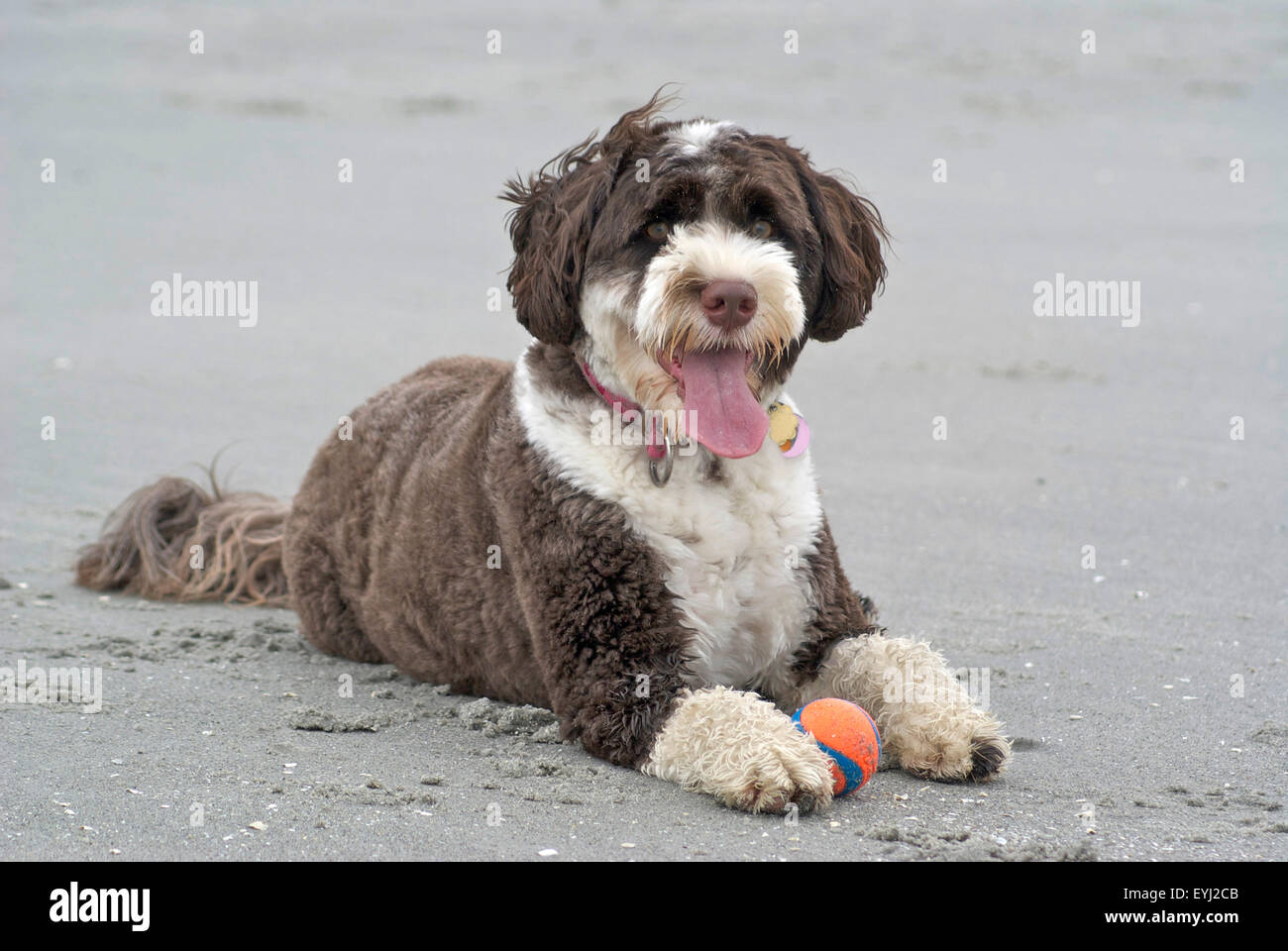 A brown and white Portuguese Water Dog lying on a beach with a ball, panting - Stock Image
