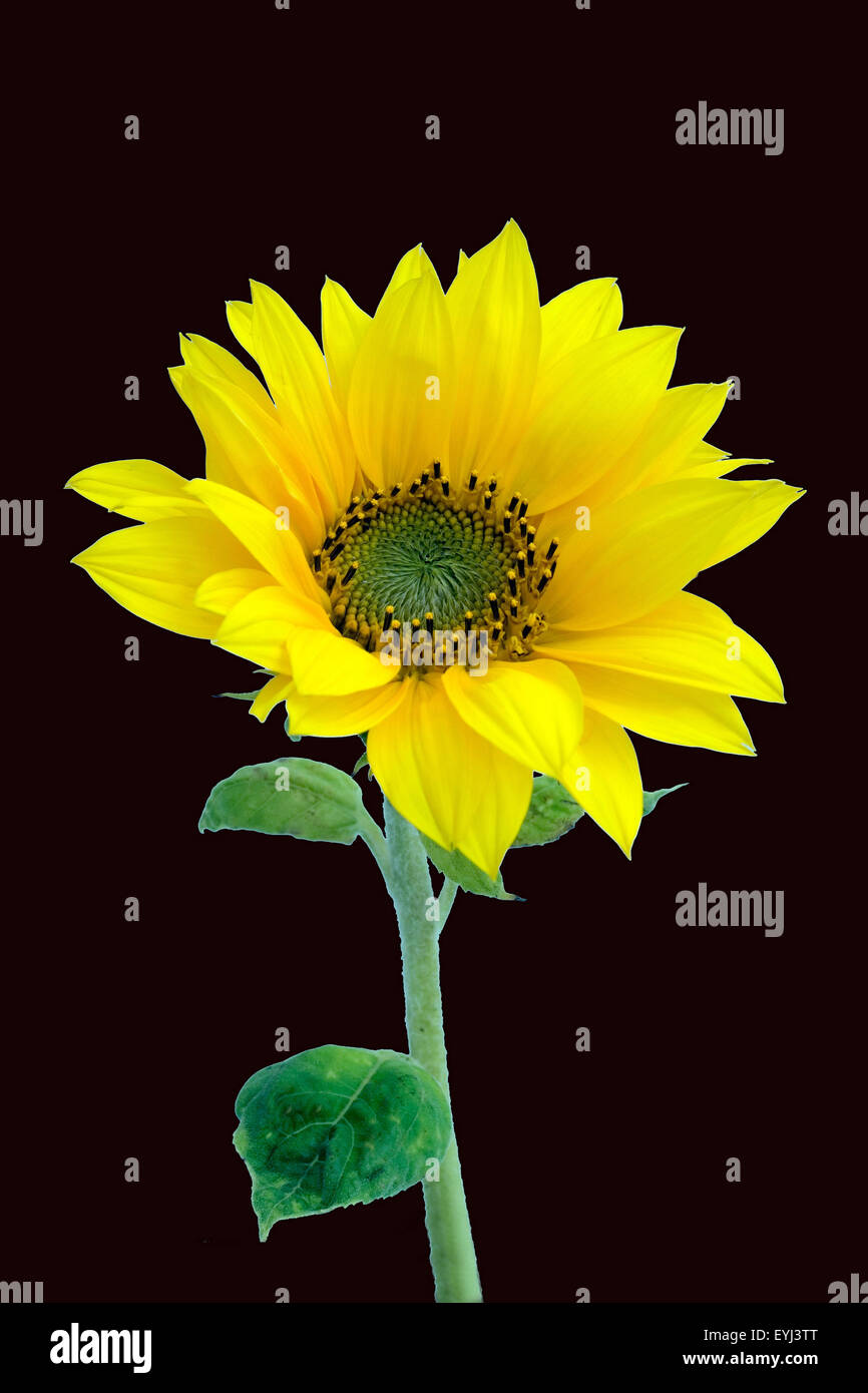 Sonnenblume; Helianthus; annuus - Stock Image