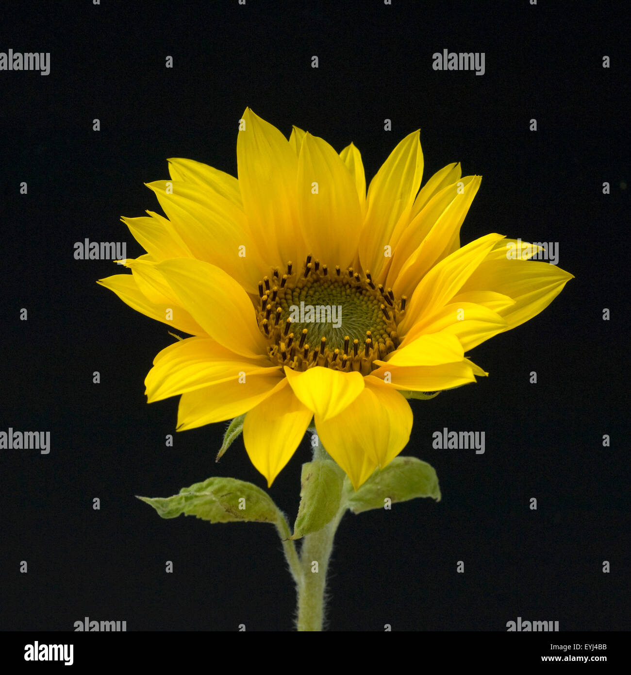 Sonnenblume, Helianthus annuus, Oelpflanze, Energiepflanze, Biomasse, Energiepflanzen, Biogener Brennstoff, Industriepflanzen, - Stock Image
