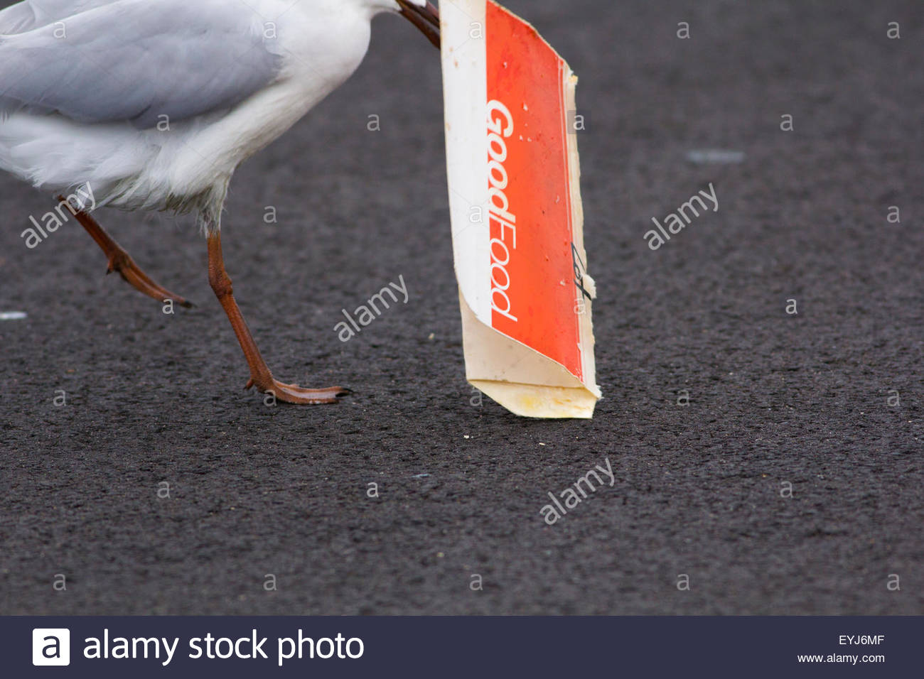 Silver Gull dragging a food container while scavenging scraps. - Stock Image