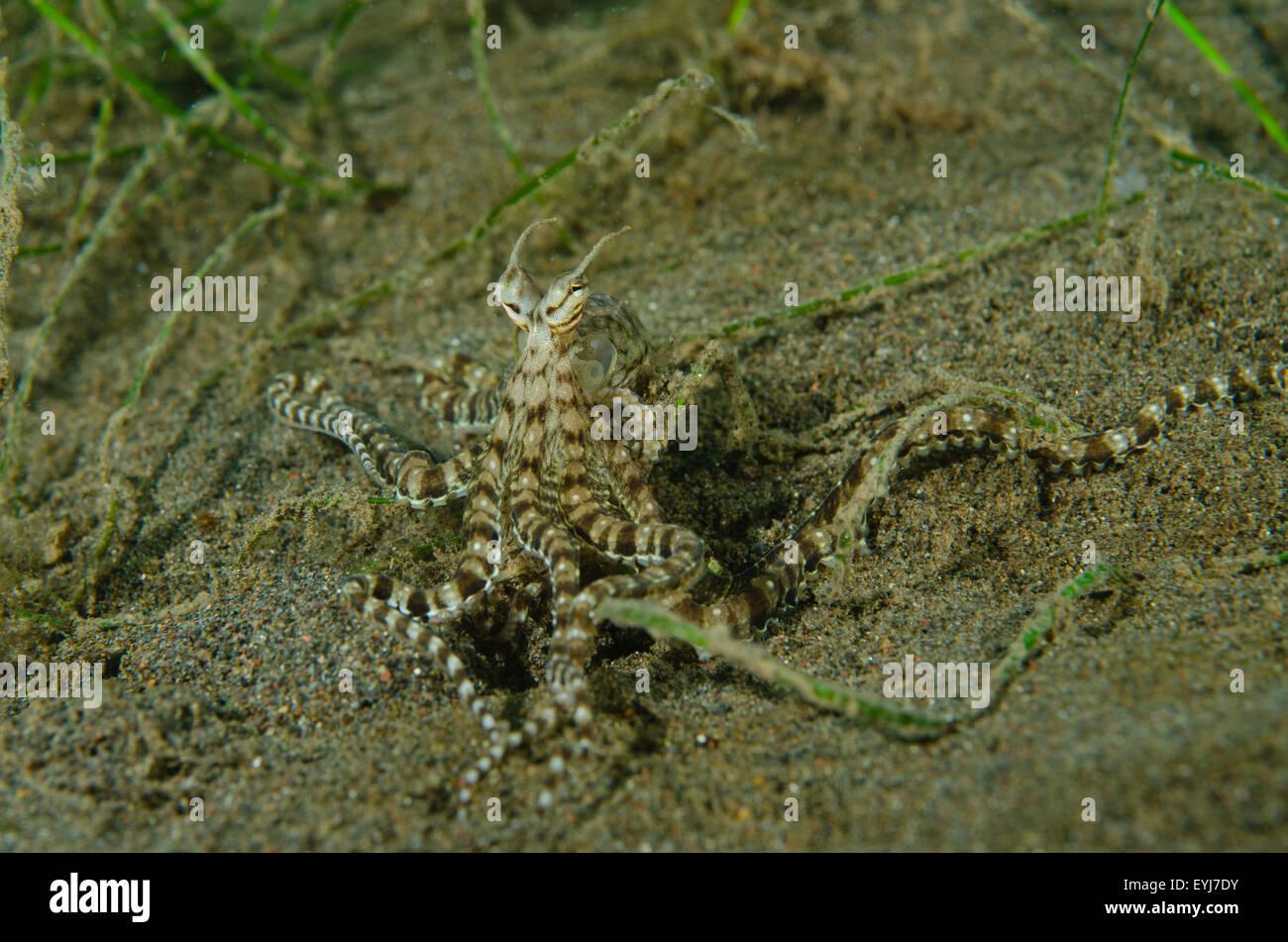 A mimic octopus, Thaumoctopus mimicus, crawls along the bottom at Puri Jati dive site, PJs, Seririt, Bali, Indonesia, - Stock Image