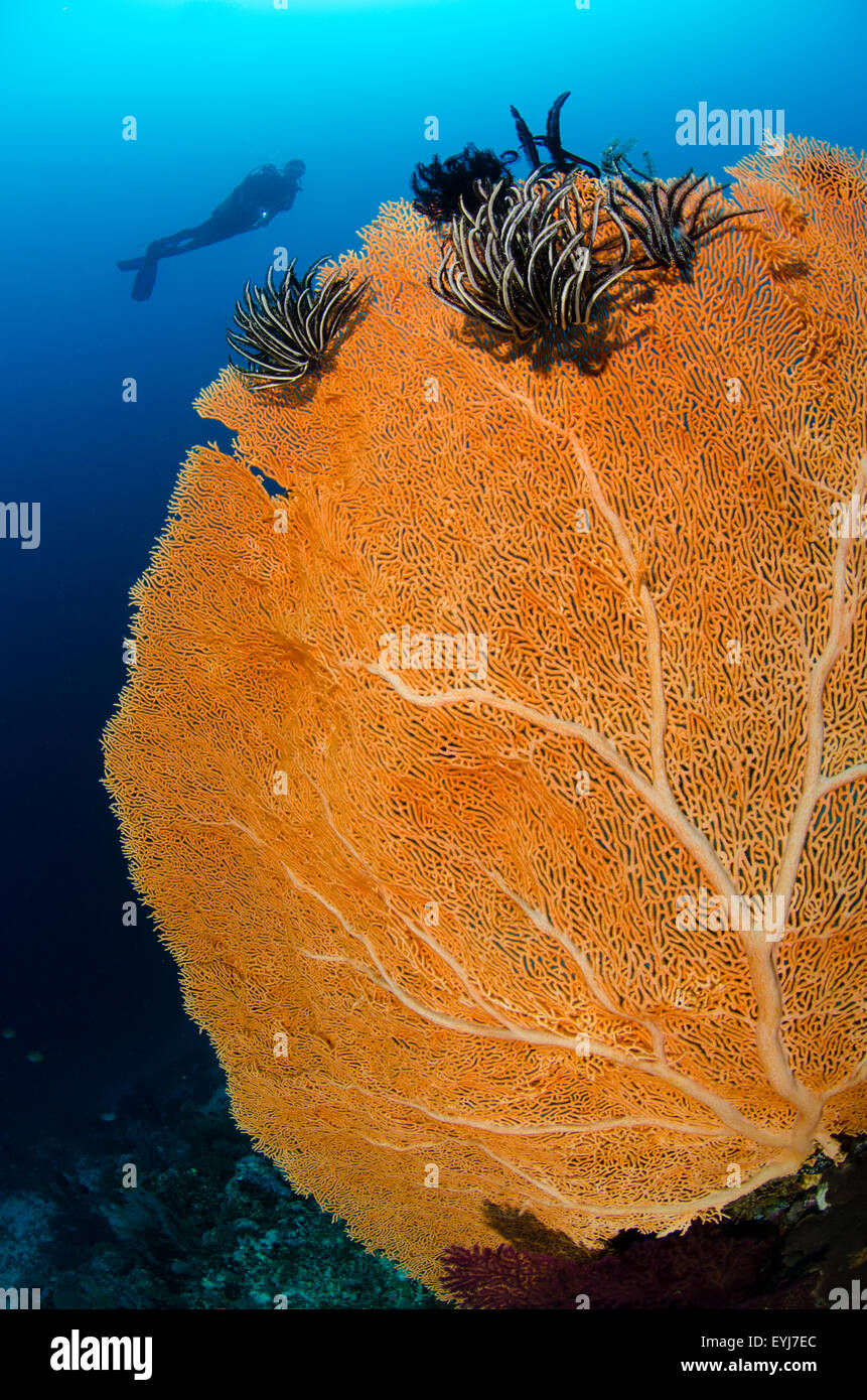 A diver silhouetted behind a yellow gorgonian seafan, Menjangan Island, Bali, Indonesia, Pacific Ocean - Stock Image