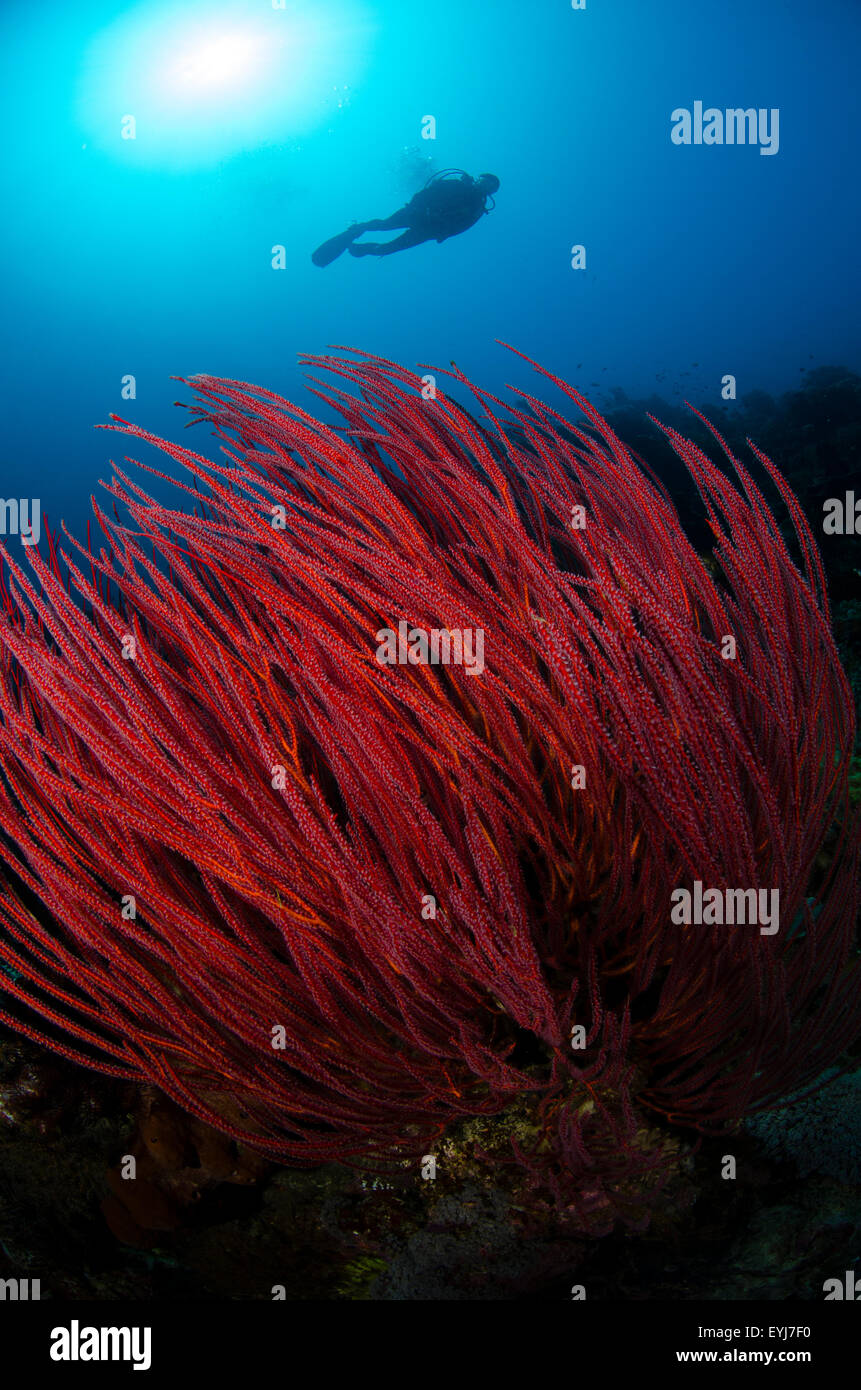 A diver swims above a group of red seawhips, Menella sp., Menjangan Island, Bali, Indonesia, Pacific Ocean Stock Photo