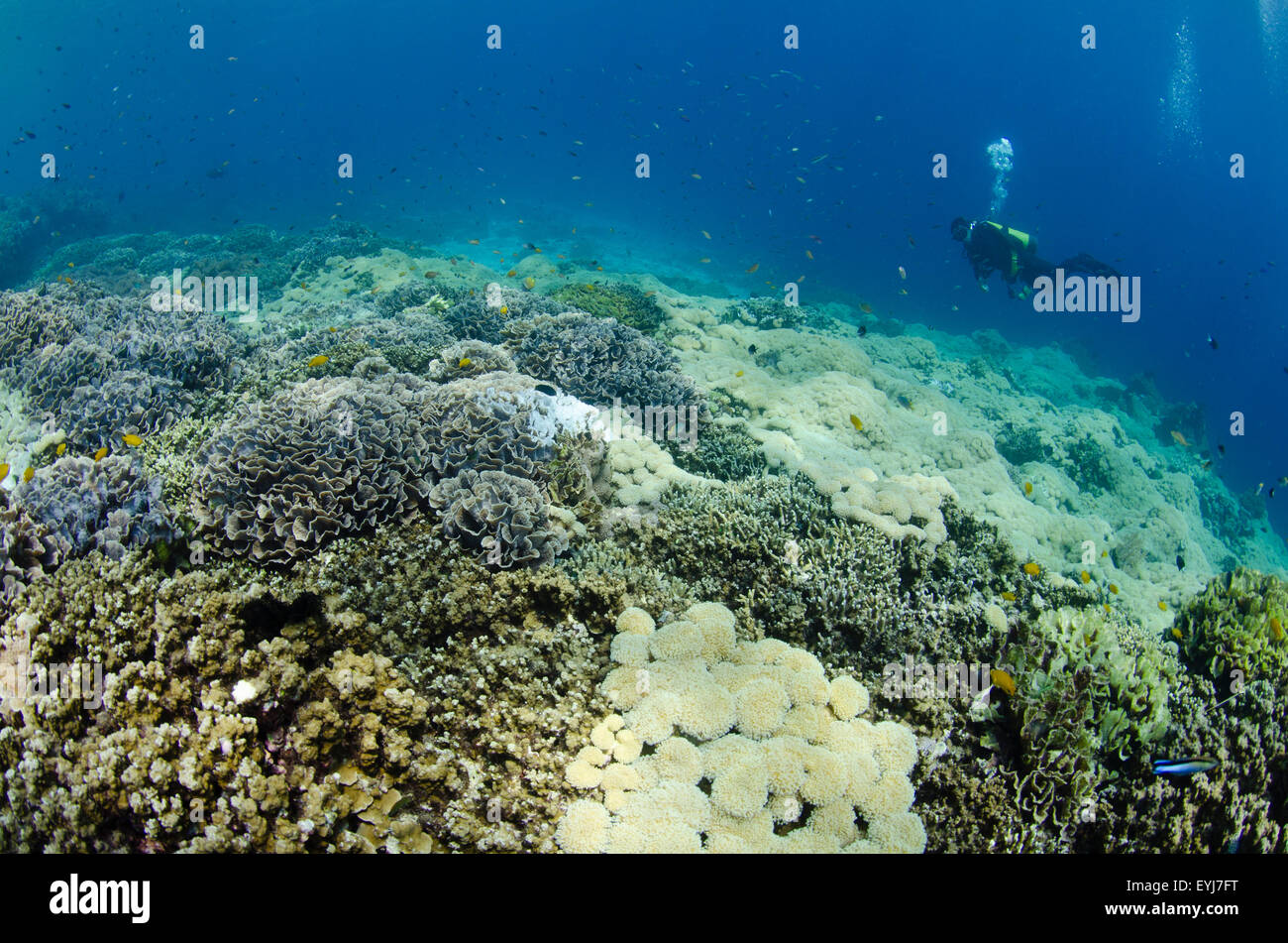 A diver swims over a coral garden in Menjangan Island, West Bali National Park, Indonesia, Pacific Ocean - Stock Image