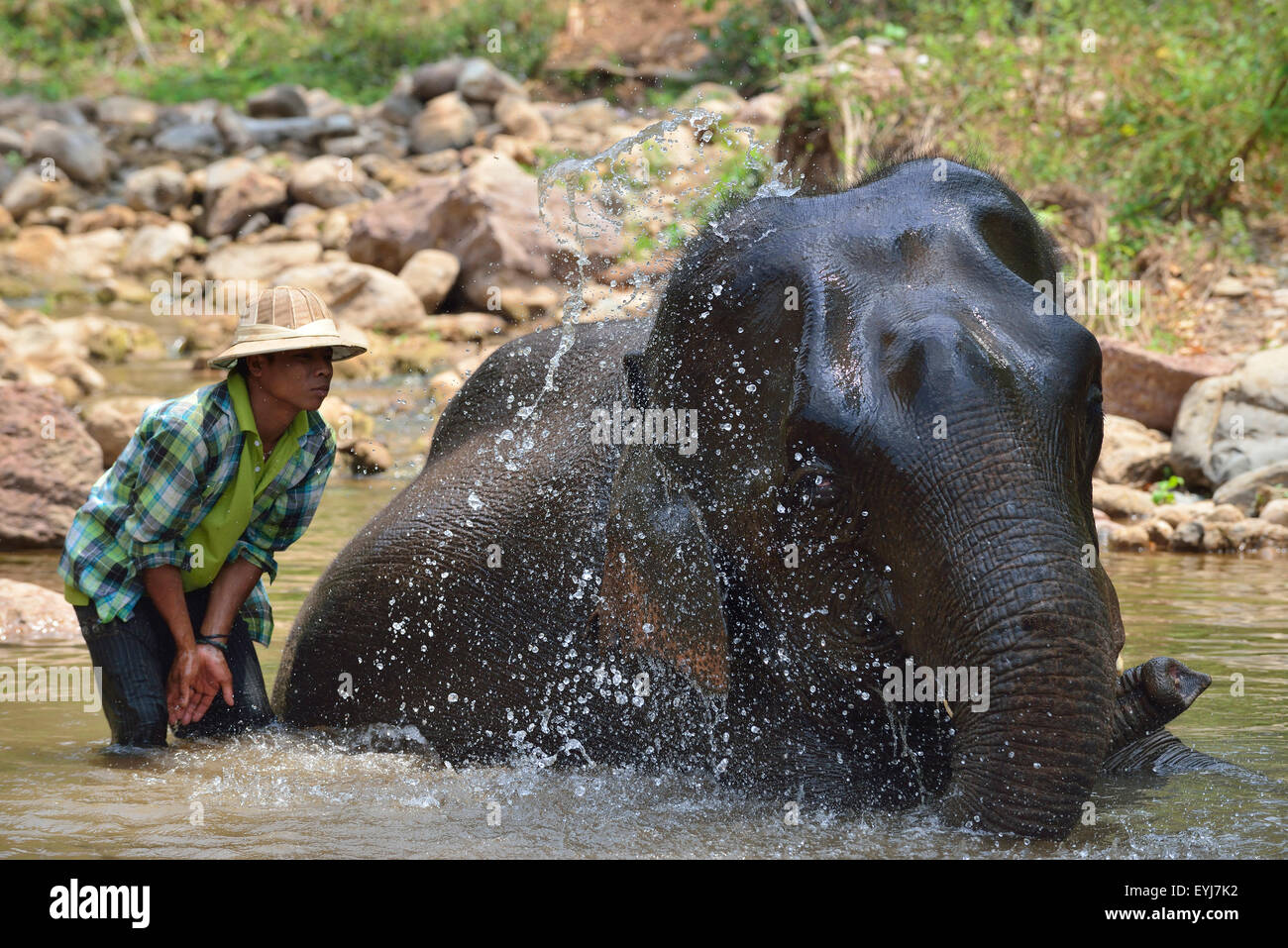 Mahout bathing a rescued logging elephant   in the stream  at the Green Hill Valley Elephant Camp Kalaw, Myanmar - Stock Image