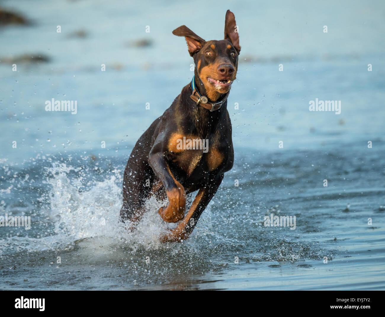 Doberman pincer dog running in water - Stock Image