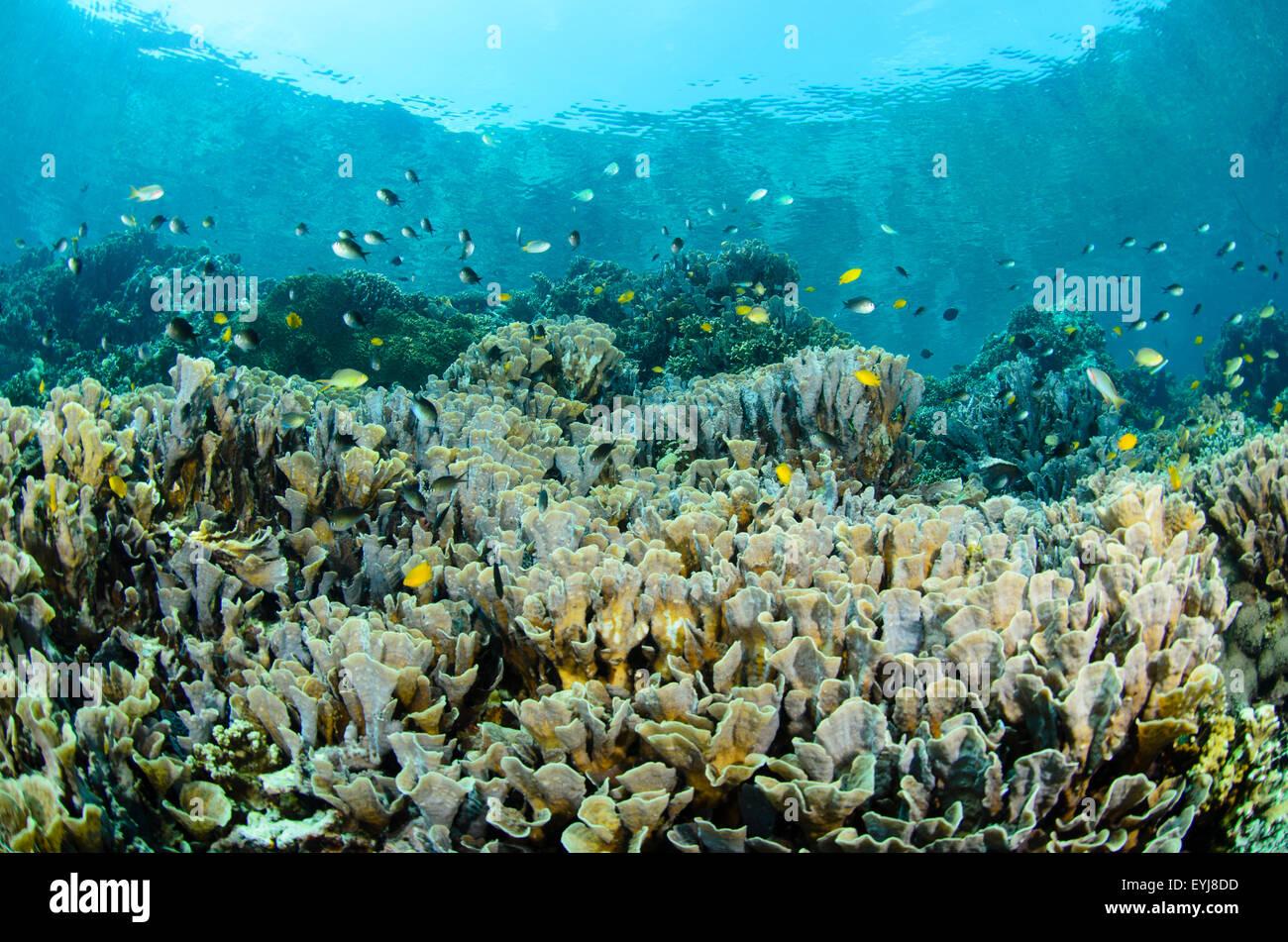Shallow cabbage corals, turbinaria reniformis, and small damselfish and chromis, Menjangan Island, West Bali National - Stock Image