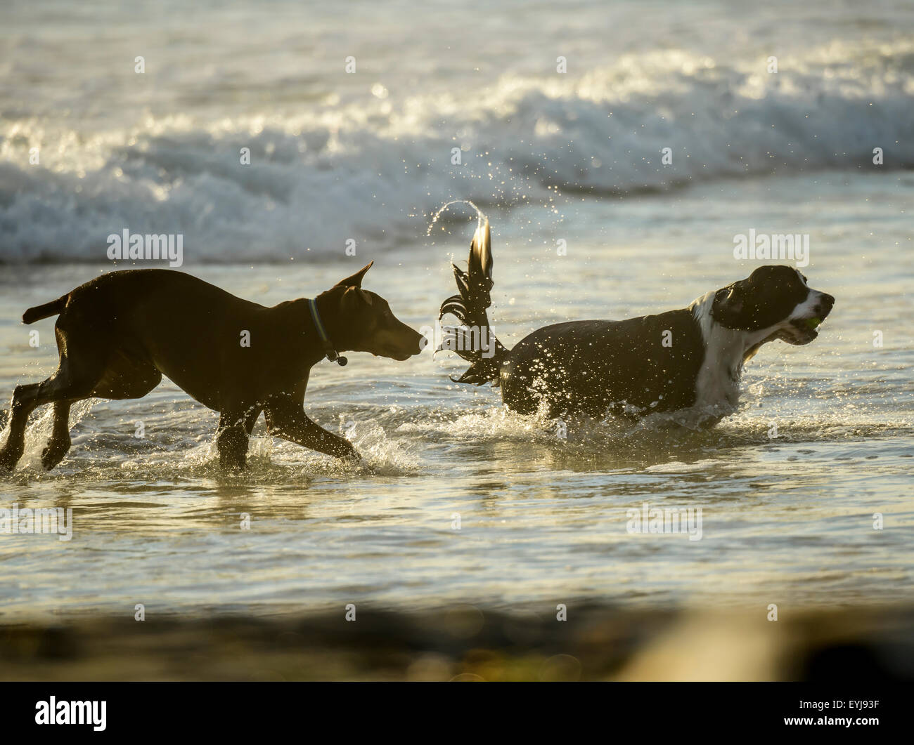 Doberman and Sapniel dogs play chase in surf Stock Photo