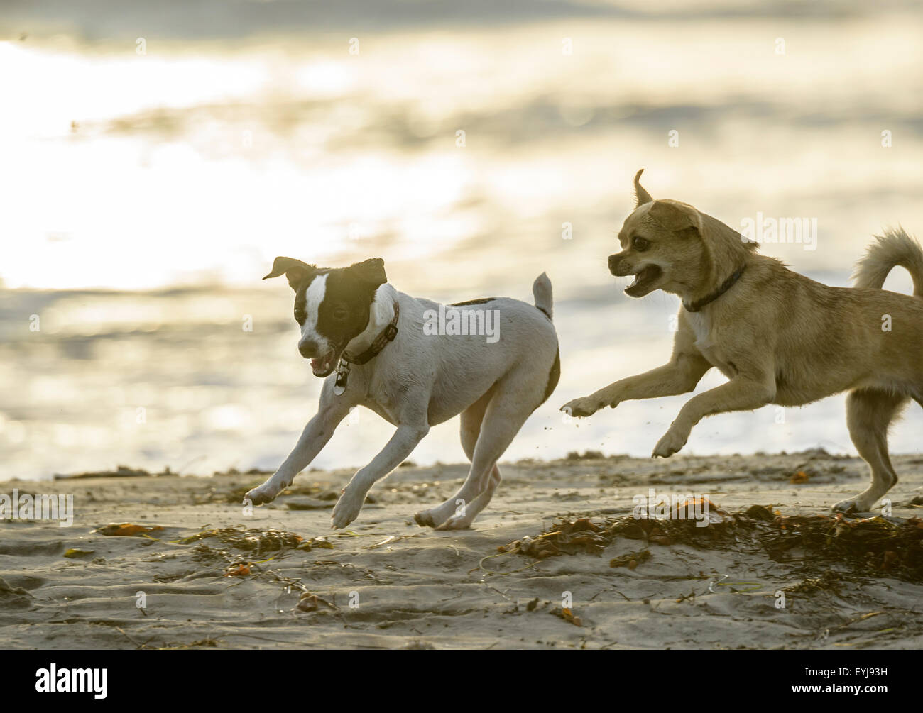 Small dogs play at dog beach - Stock Image