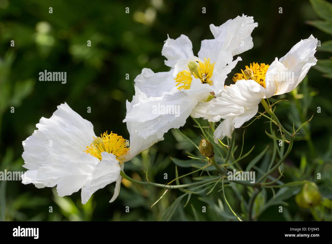 Large Yellow Stamened White Flowers Of The Tree Poppy Romneya