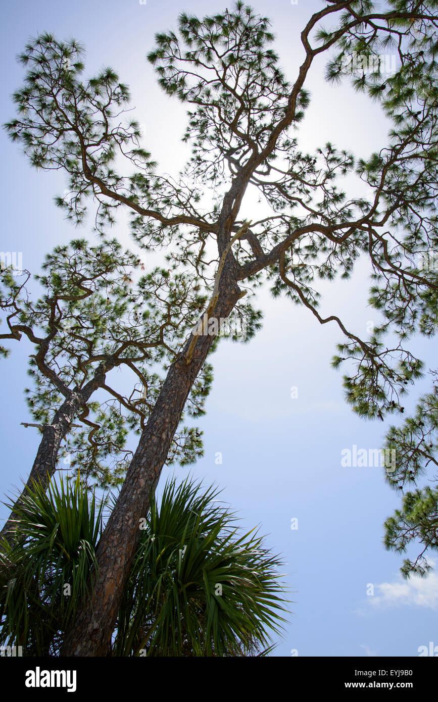 Pine trees against blue sky, Big Bend area, Florida - Stock Image