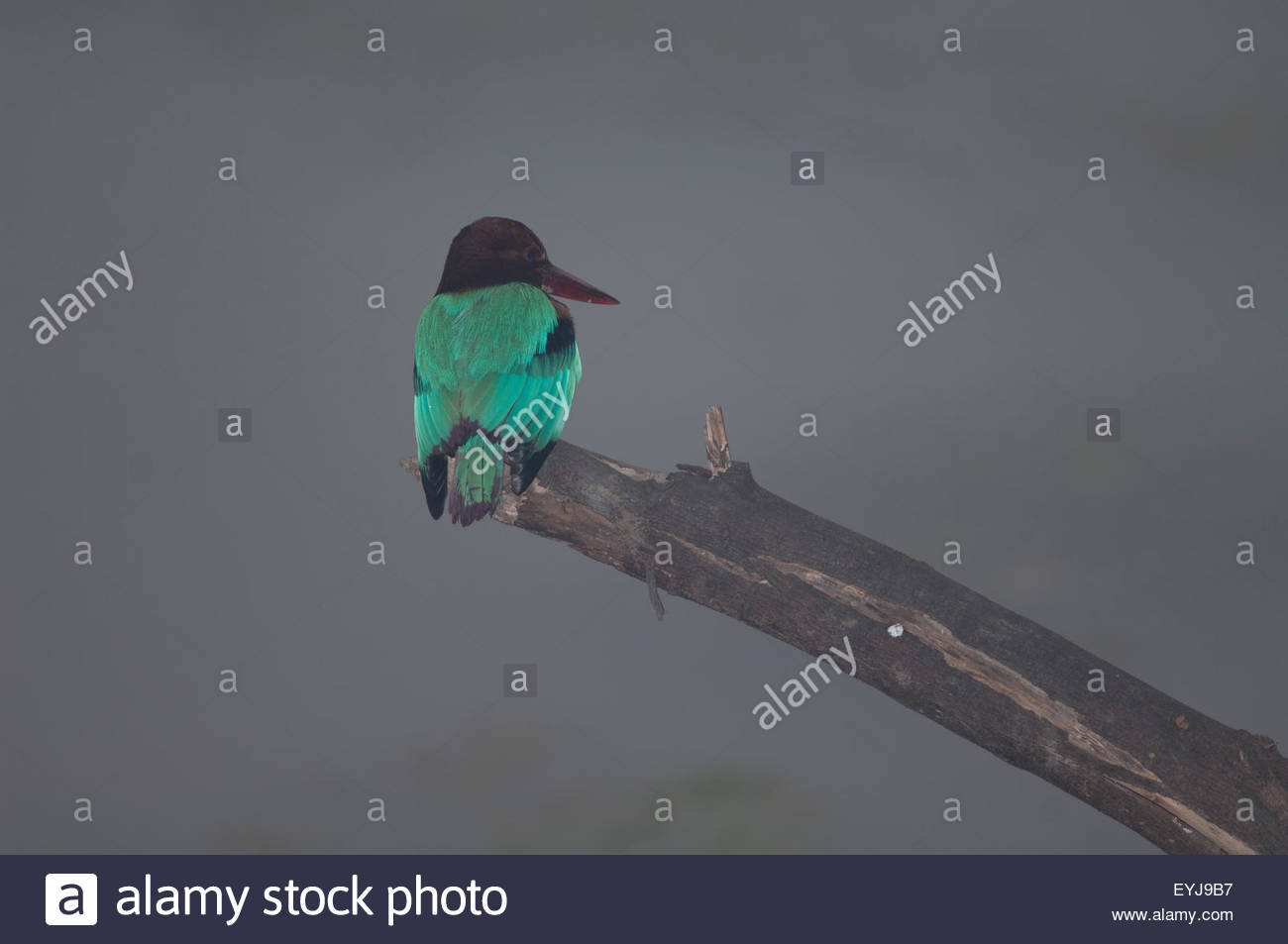 White-throated kingfisher (Halcyon smyrnensis). Keoladeo Ghana National Park. Rajasthan. India. - Stock Image