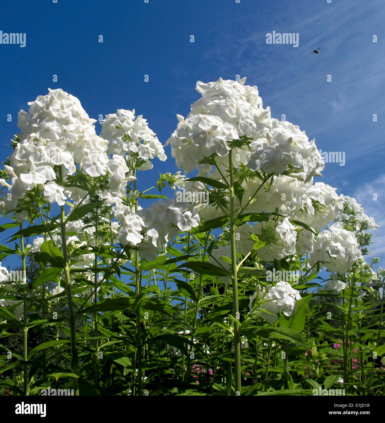 Tall white flowers stock photos tall white flowers stock images tall white flowers against deep blue sky stock image mightylinksfo