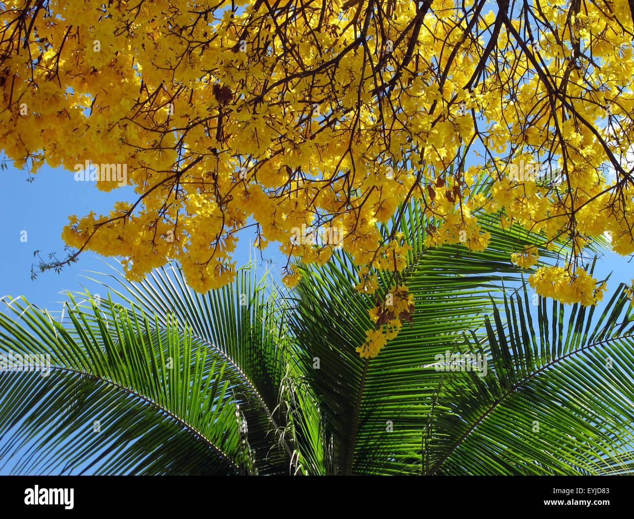 Guayacan Tree Branches With Yellow Flowers And Palm Tree Leaves