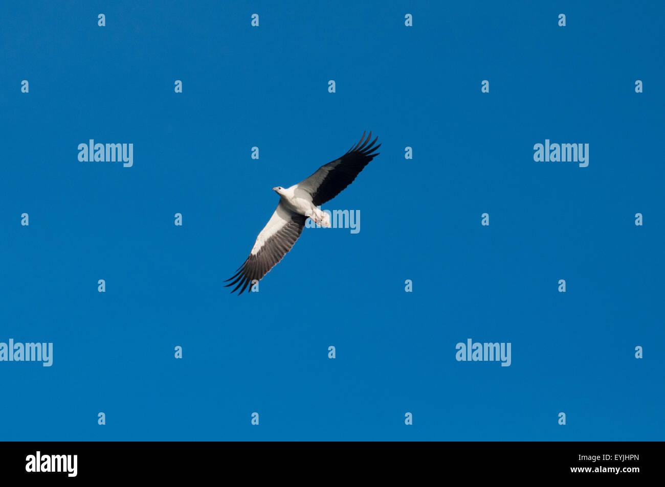 White bellied sea eagle, Haliaeetus leucogaster, soaring above Komodo National Park, Indonesia Stock Photo