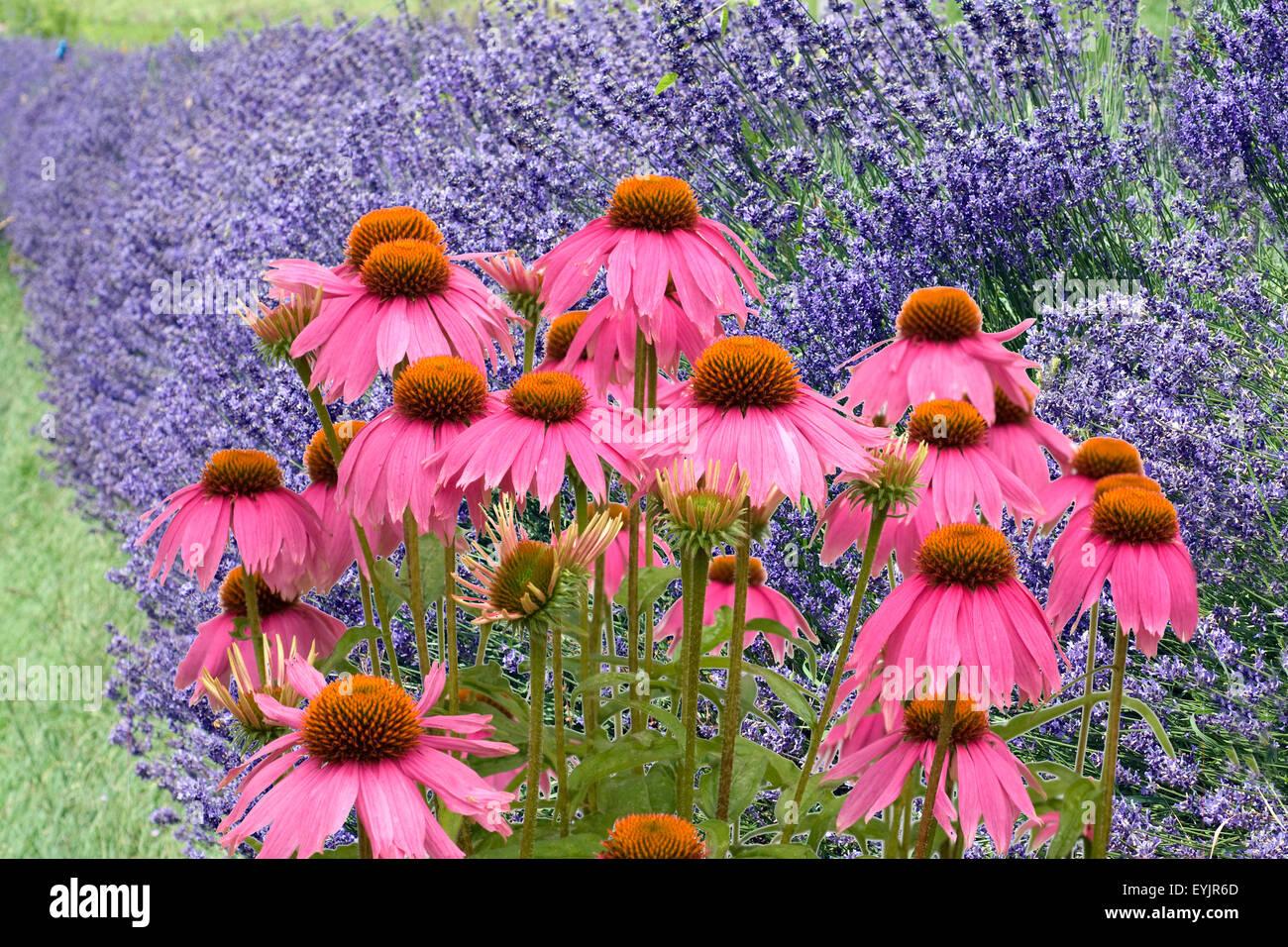 Lavendel; Lavendula; angustifolia; Roter, Sonnenhut - Stock Image