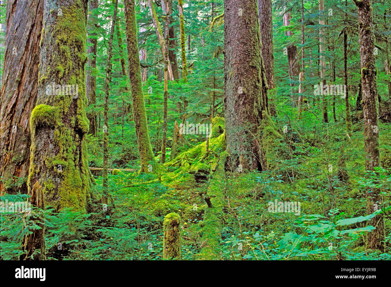  Old growth temperate Rainforest's, West coast British Columbia - Stock Image