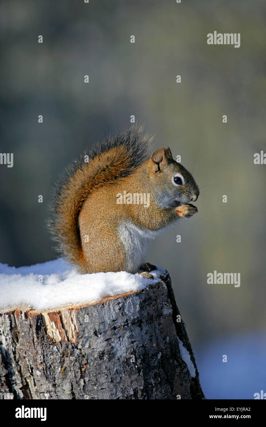 Eichoernchen sitzt auf Baumstrunk im Schnee|Red Squirrel sitting on tree stump in winter,eating seeds - Stock Image