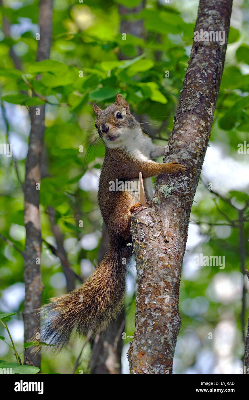 Curious Red Squirrel sitting in small tree,watching - Stock Image