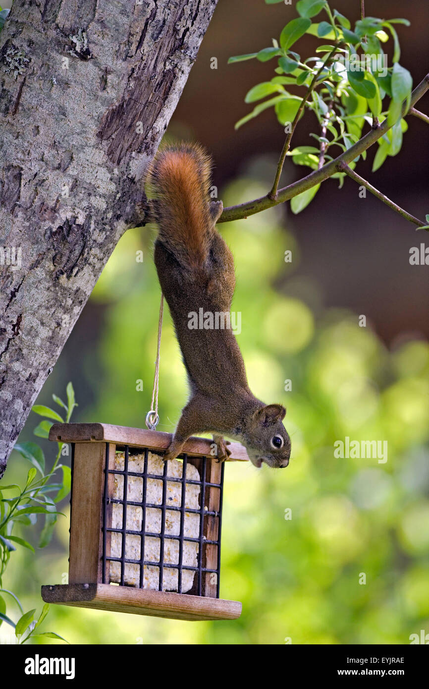 Red Squirrel hanging from tree branch by Bird feeder - Stock Image