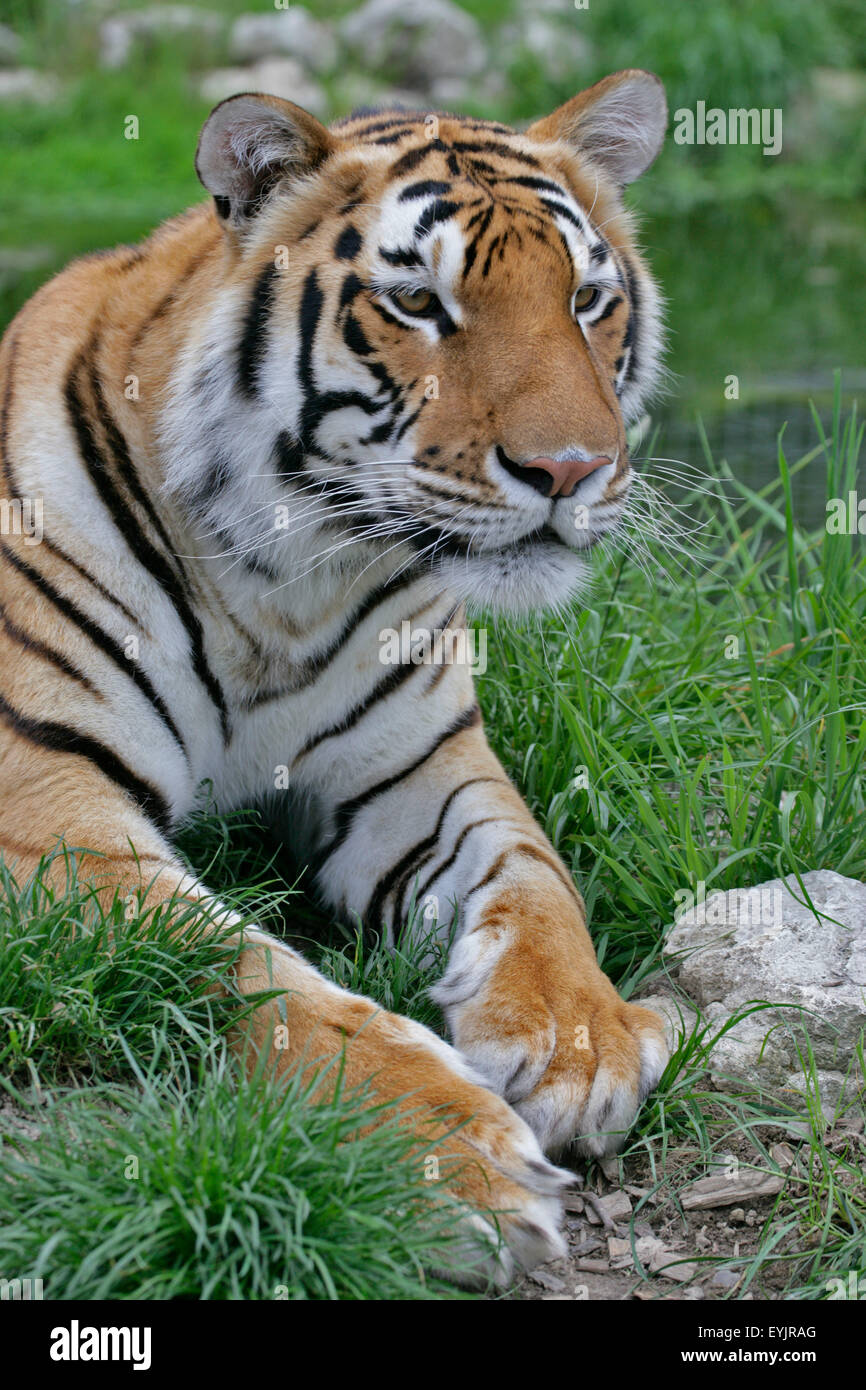 Large Bengal Tiger lying in grass,watching Stock Photo