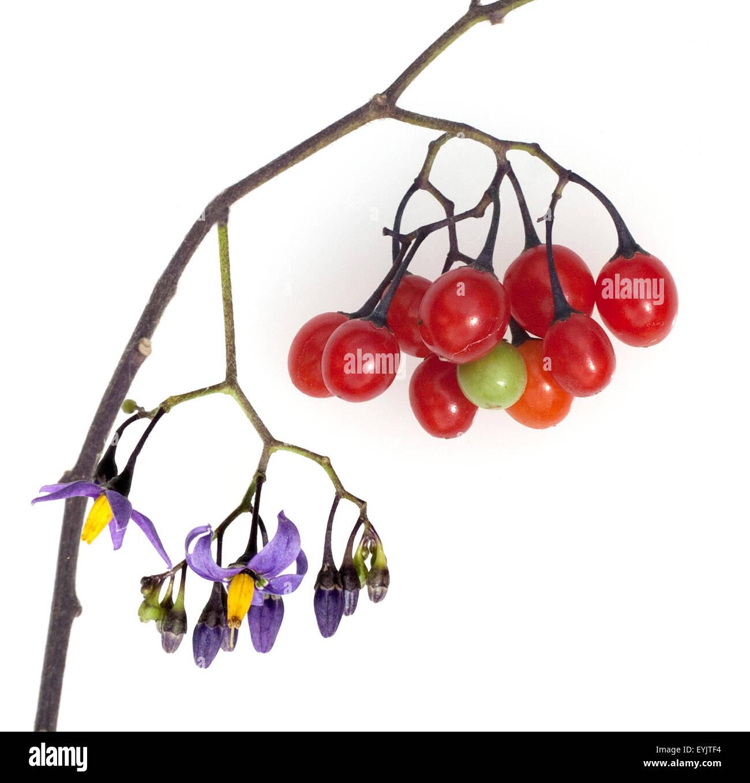 Bittersuesser, Nachtschatten, Solanum, dulcamara, - Stock Image