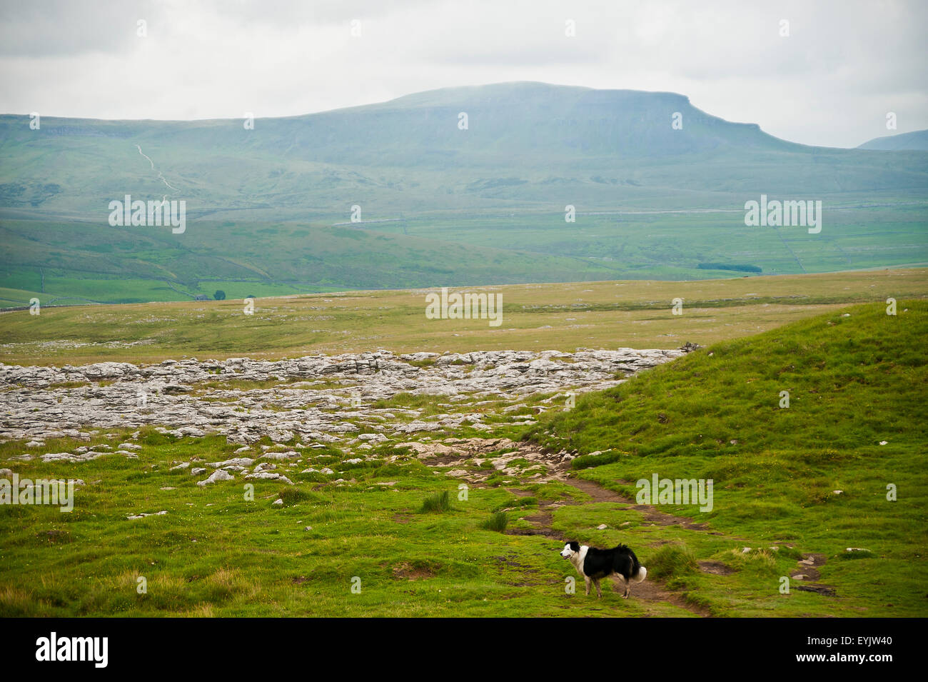border collie dog on Limestone pavement, Yorkshire Dales, England with pen-y-gent mountain, 3 peaks challenge walk - Stock Image