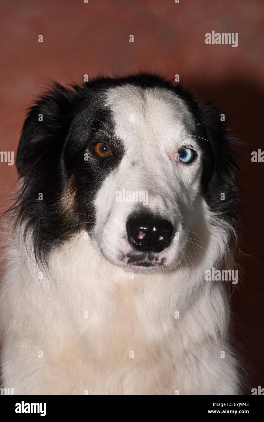 border collie sheep dog in photographers studio - Stock Image