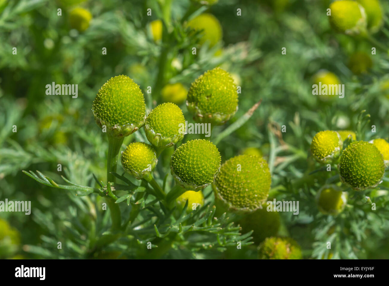 Pineapple Weed Matricaria Discoidea Plant In Flower The Yellow