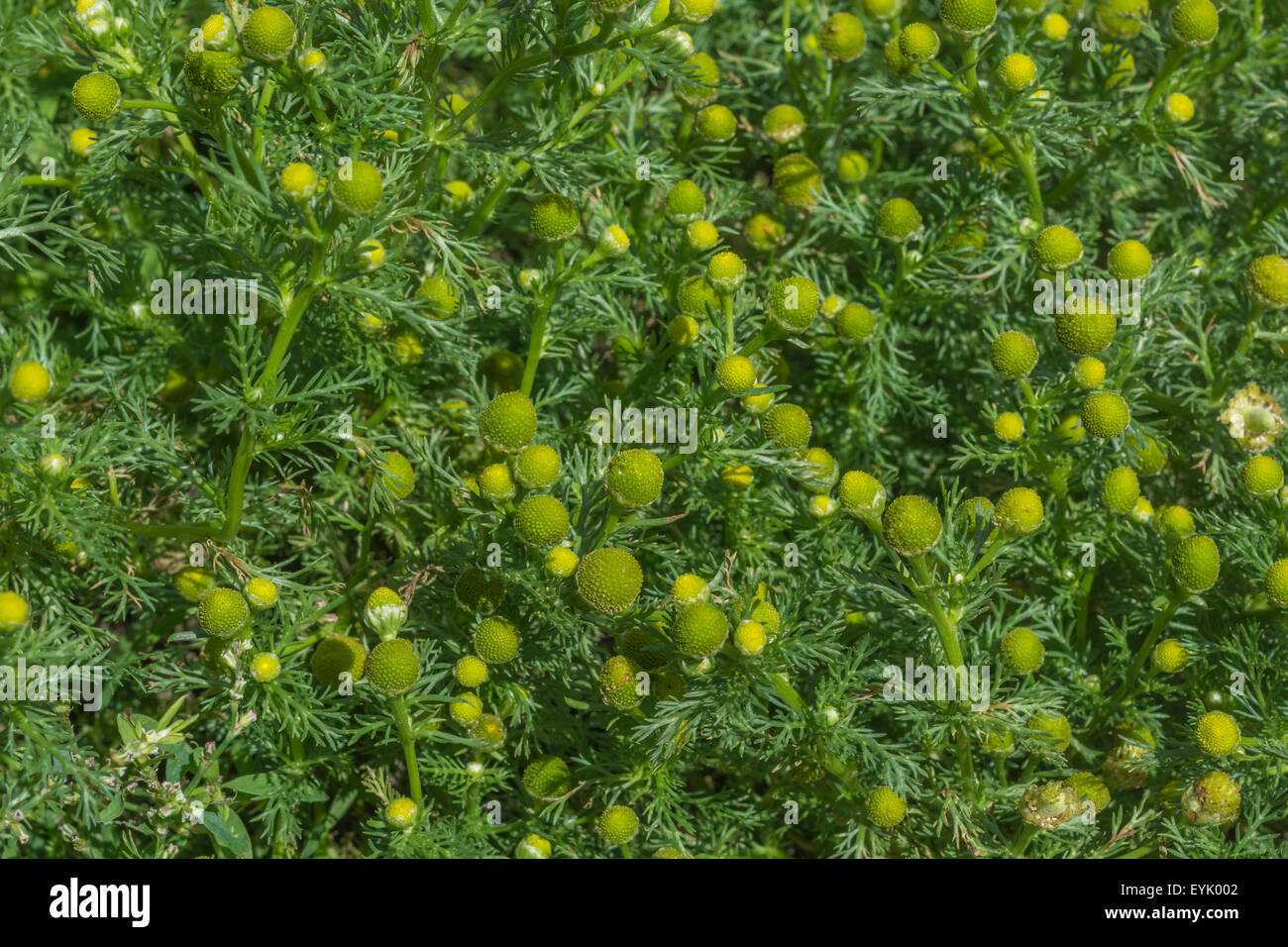 Pineapple Weed Stock Photos Pineapple Weed Stock Images Alamy