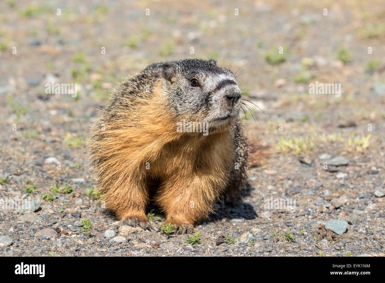 Yellow bellied Marmot - Marmota flaviventris - Stock Image