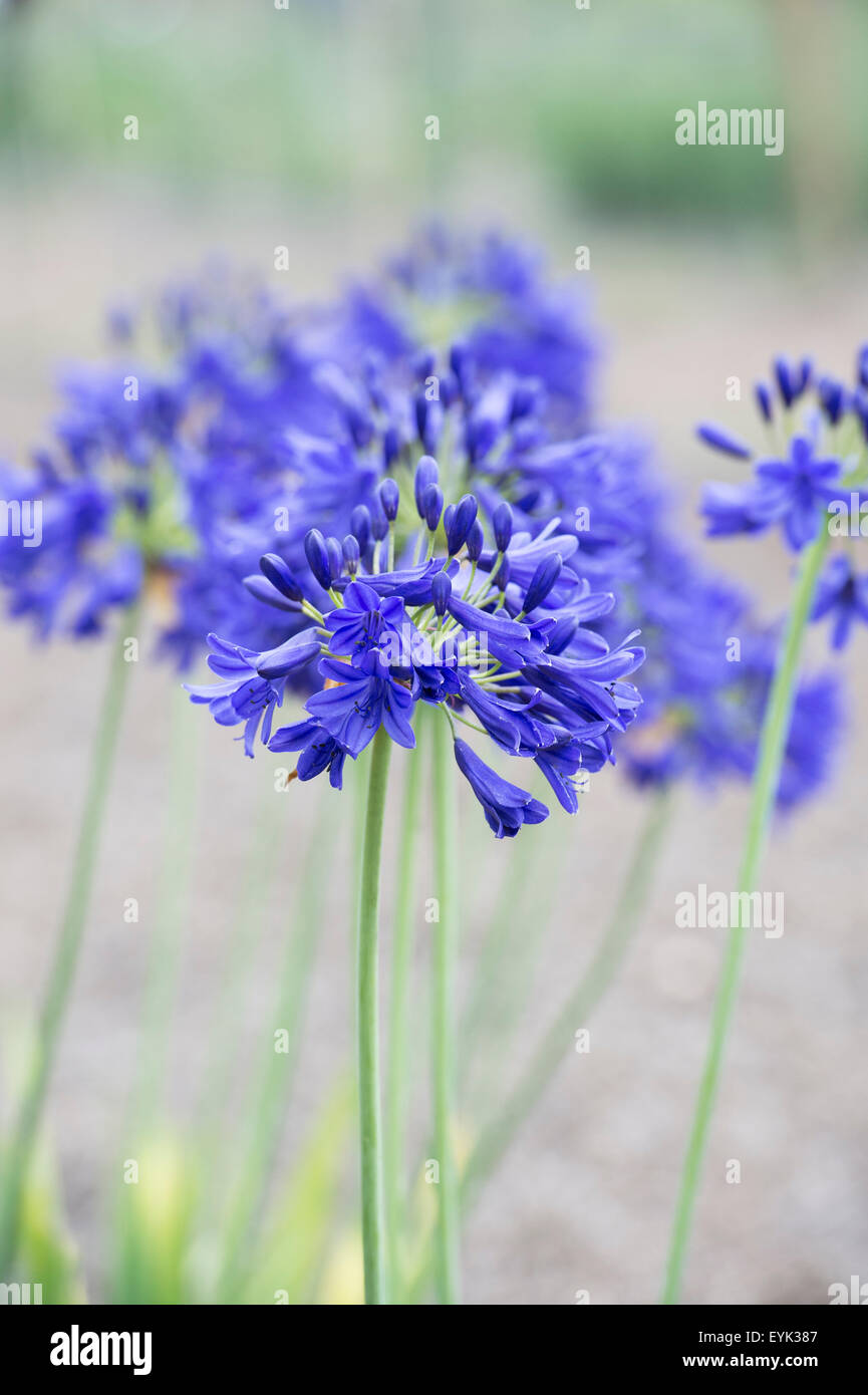 Agapanthus 'Flower of Love'. African blue lily Stock Photo